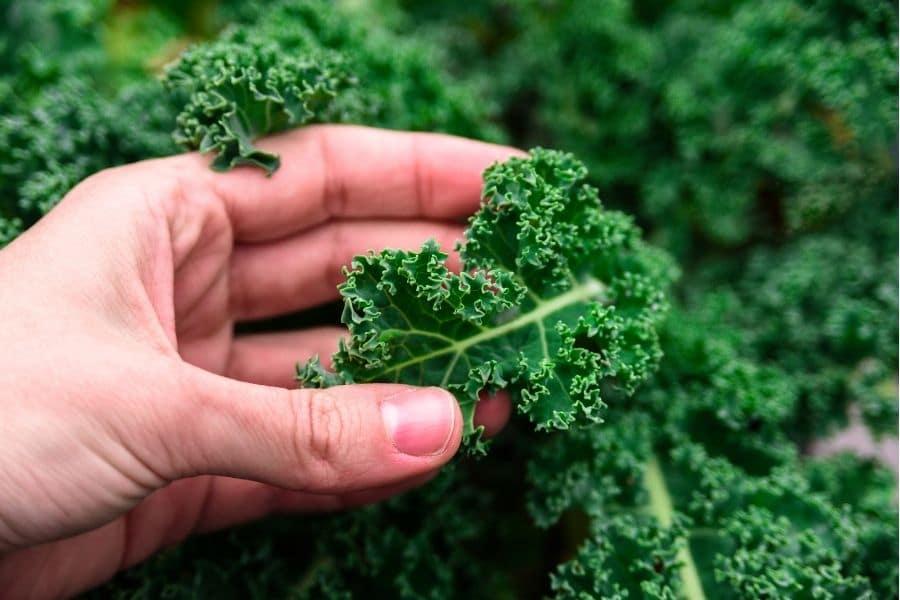 best vegetables to grow in pots kale