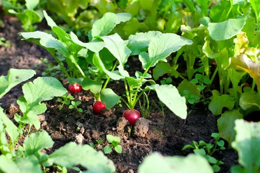 best vegetables to grow in pots raddist