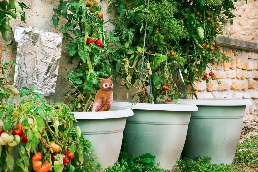 best vegetables to grow in pots tomatoes