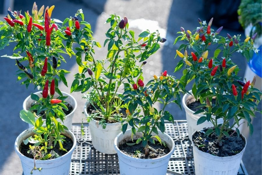 best vegetables to grow in pots peppers