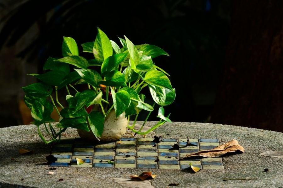 golden pothos
