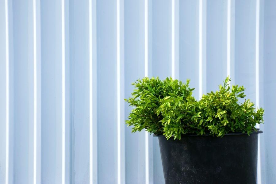 Boxwood bush in black bucket near white fence