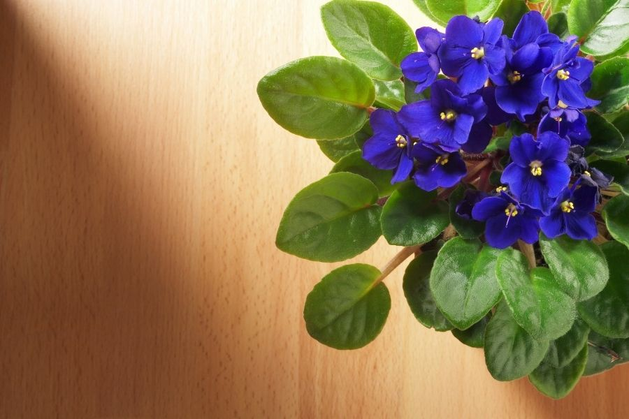 African Violet top view