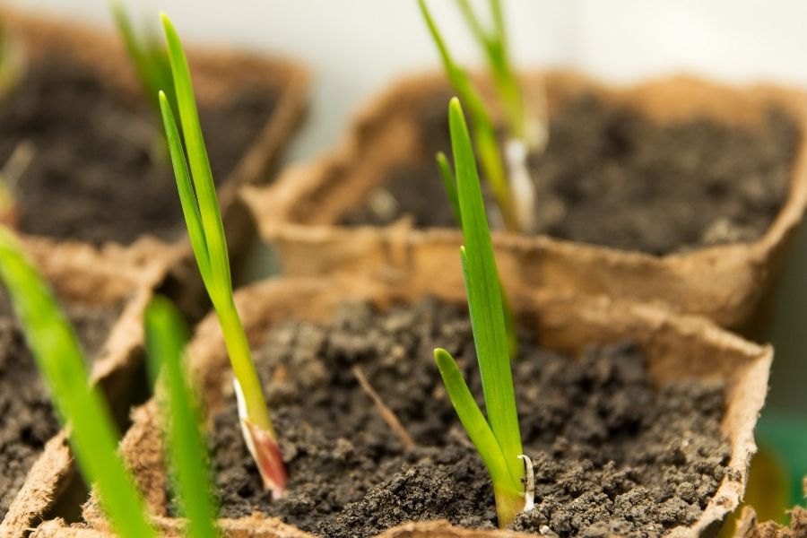 Green growing garlic planted in a peat container at home