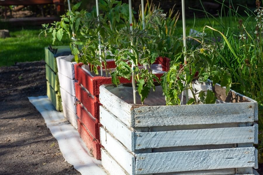 Tomato plants planted in wooden containers