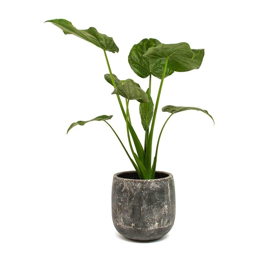 Buddha Palm plant