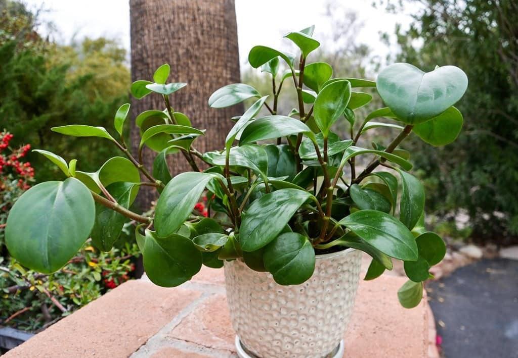 Imperialis rubber plants