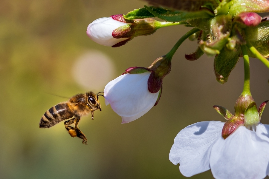 Close up image with a bee in flight pollinating cherry blossom.
