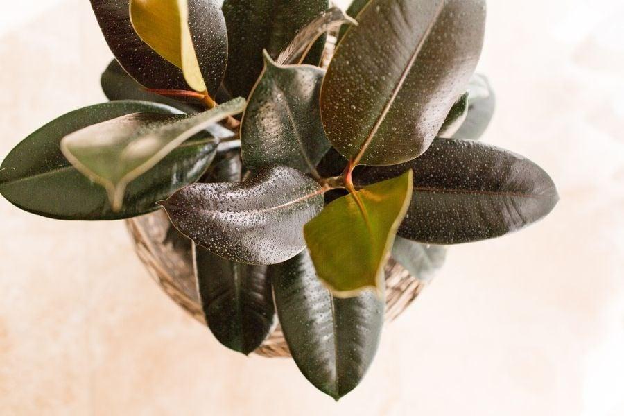 Sumo rubber plant