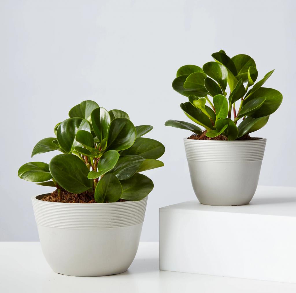 dwarf mini rubber plants