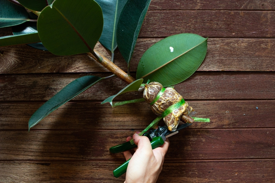 pruning rubber plants