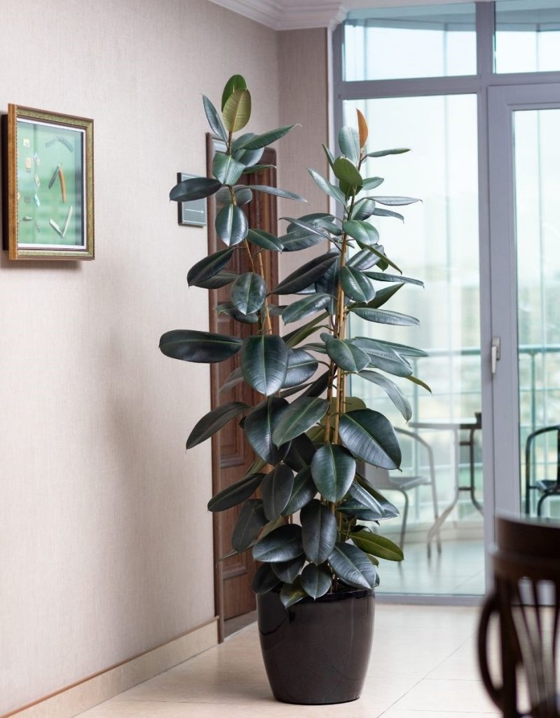 Rubber plant places indoor