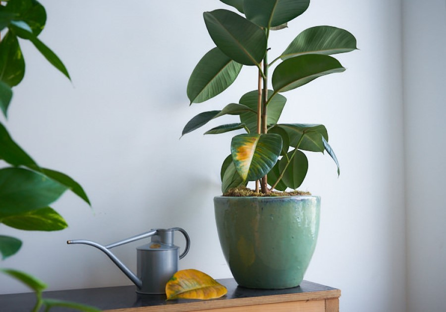 Rubber plant watering tip