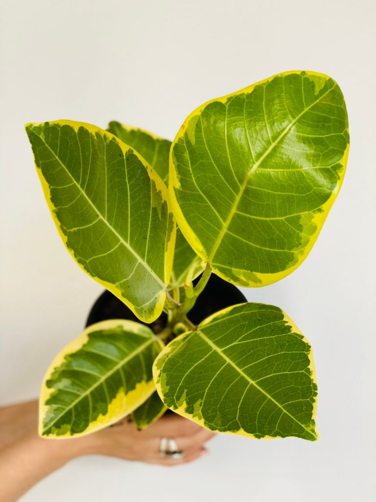 yellowish-green color rubber plant leaves