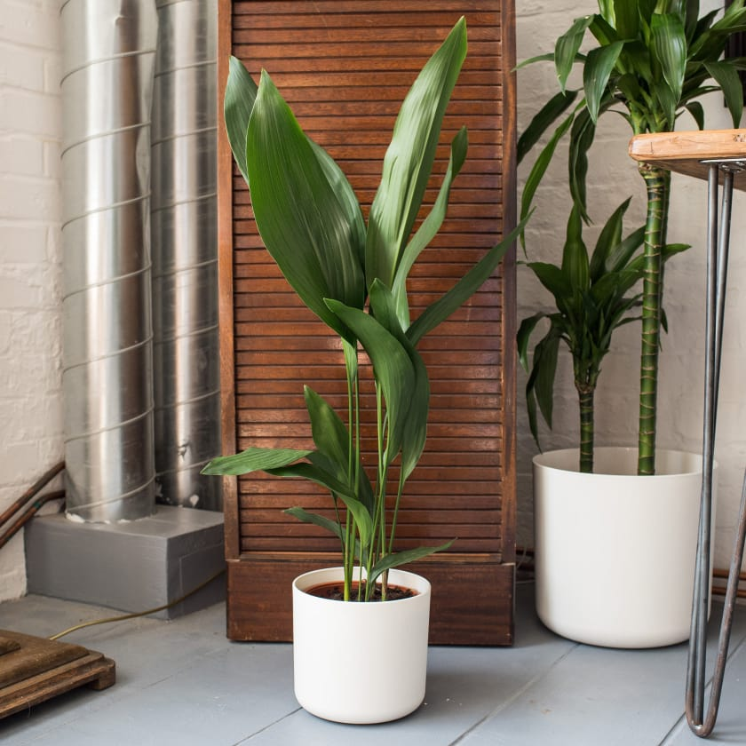 Medium textured plant