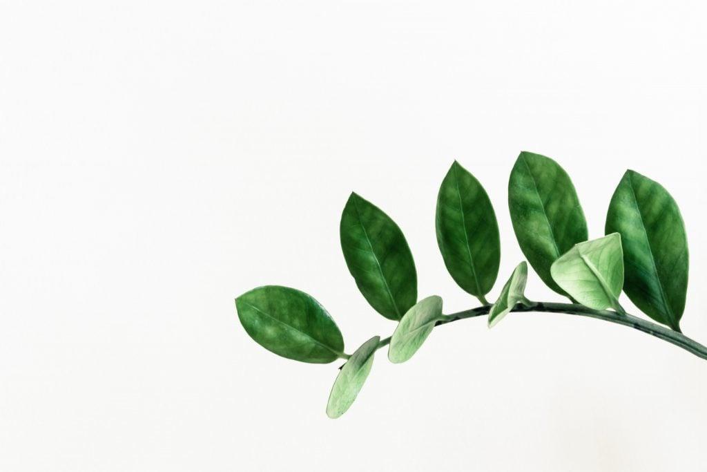 ZZ plant leaves